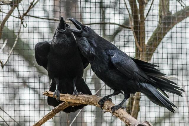 Klára a Kryštof přišli do Prahy v roce 2003 z plzeňské zoo a od té doby pravidelně ohlašují svým hnízděním příchod jara. Foto: Petr Hamerník, Zoo Praha