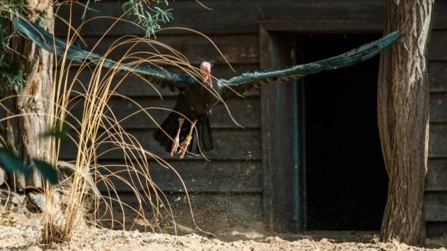 V nově zrekonstruované voliéře je k vidění celkem 18 ibisů skalních. Foto: Petr Hamerník, Zoo Praha