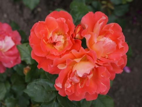 Několik rad a nápadů pro milovníky růží, foto Stanislava Nopová