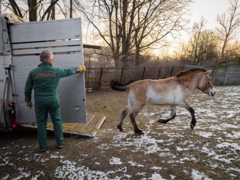 Do Zoo Praha dnes ráno přicestovaly dvě klisny koně Převalského z Finska. Foto: Petr Hamerník, Zoo Praha