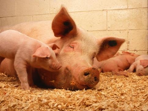 Národní dotace pro chovatele prasat a drůbeže