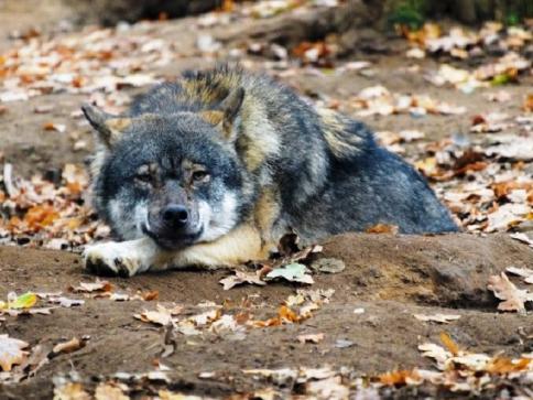 K nejodolnějším zvířatům pražské zoo patří vlci eurasijští. Foto: Petr Hamerník, Zoo Praha.