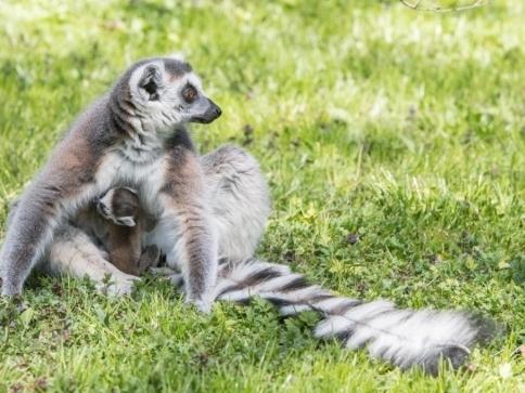V Zoo Praha se narodilo mládě lemura kata, foto: Vít Lukáš, Zoo Praha