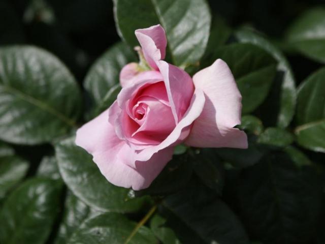 Královnou květin je růže, foto Praha Press