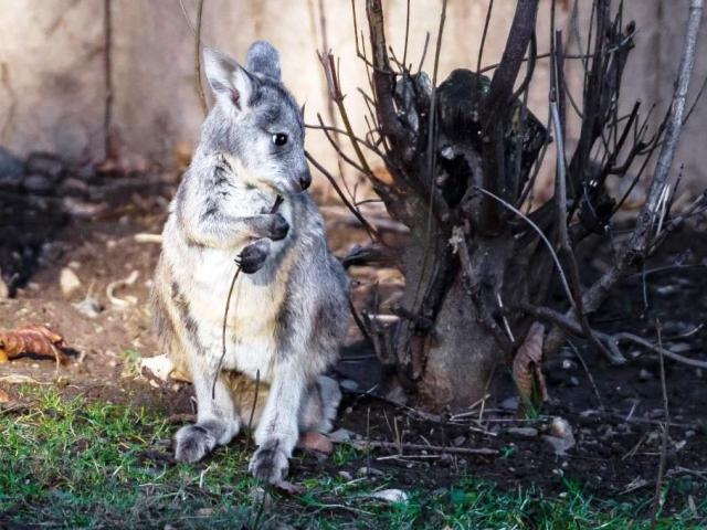 Mládě klokana horského je každým dnem odvážnější. Foto: Petr Hamerník, Zoo Praha