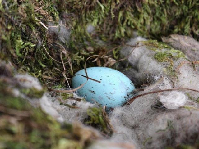Samice krkavců velkých snášejí modrá vejce s červenohnědým skvrněním, na kterých sedí tři týdny. Foto: Antonín Vaidl, Zoo Praha