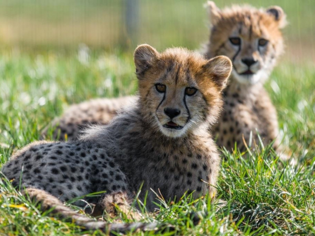 Jedním z největších lákadel pro letošní sezónu budou gepardí mláďata. Foto Petr Hamerník, Zoo Praha