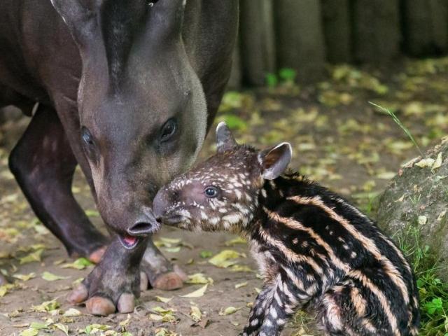 Sameček tapíra jihoamerického se narodil přímo ve venkovní expozici. Foto: Petr Hamerník, Zoo Praha