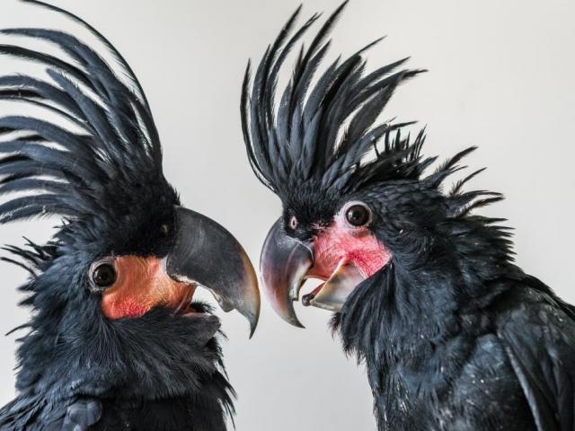 Dvě odchovaná mláďata kakadu palmového jsou pro pražskou zoo velkým úspěchem. Foto: Antonín Vaidl, Zoo Praha