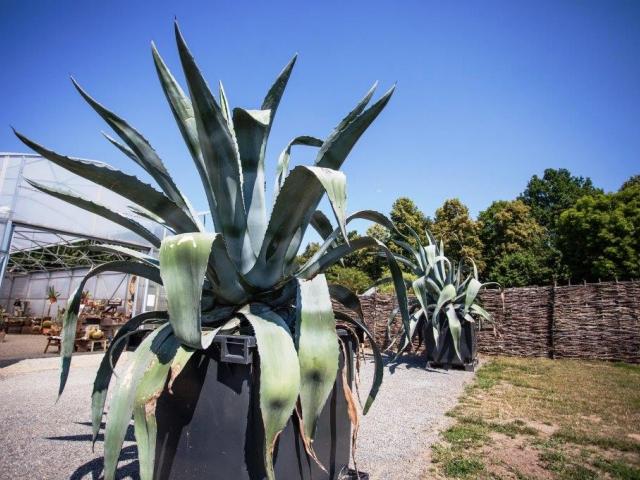 Několikatunové 45 let staré agáve patřící k největším v ČR najdete v botanické zahradě v Troji, foto Botanická zahrada Praha