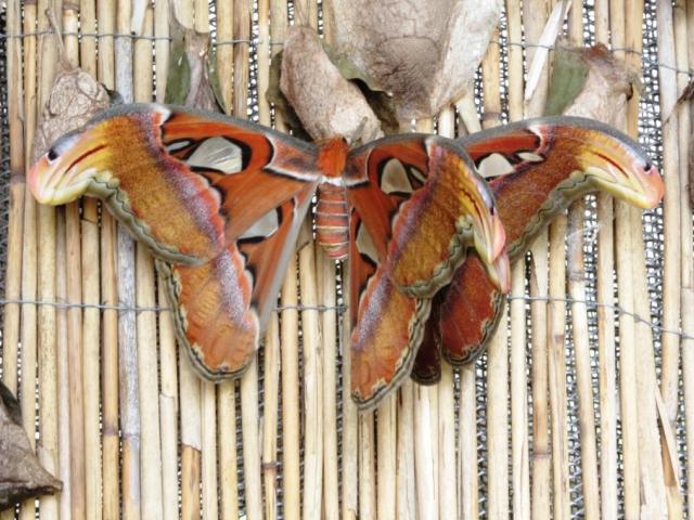Odchov motýla Attacus atlas, foto Botanická zahrada Praha