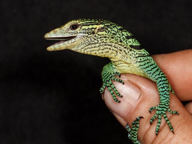 Mládě varana smaragdového při vyndání z líhně. Foto: Petr Velenský, Zoo Praha