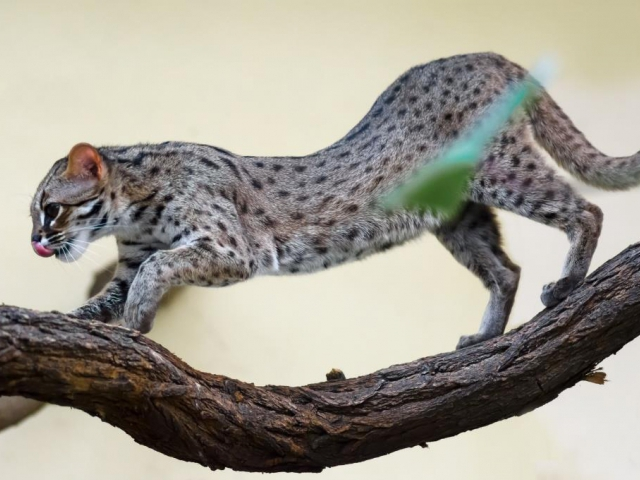 Kočka palawanská žije pouze na filipínském ostrově Palawan. Foto: Petr Hamerník, Zoo Praha