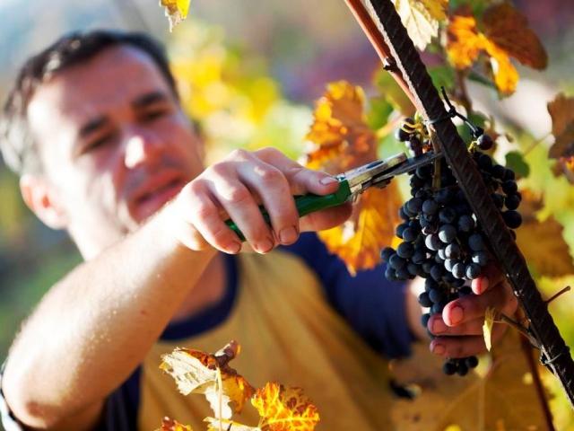 Na vinici sv. Kláry v trojské botanické zahradě sklidili 25 tun hroznů, foto Botanická zahrada Praha
