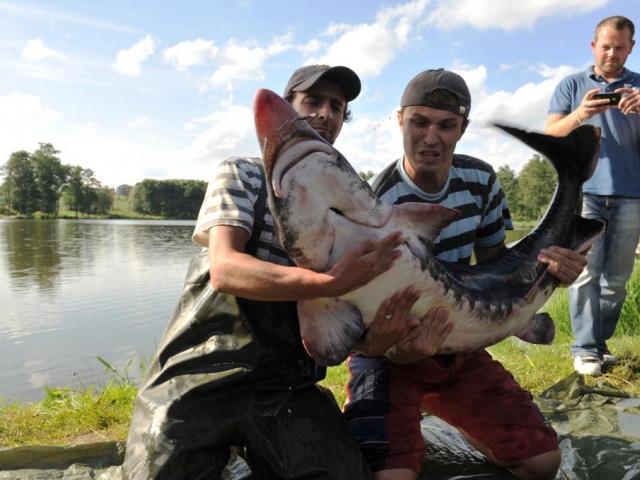 Hlavní atrakcí Pilského rybníku je vyza velká, pojemnovaná Nessie. Měří přes 180 cm s váhou 60 kg