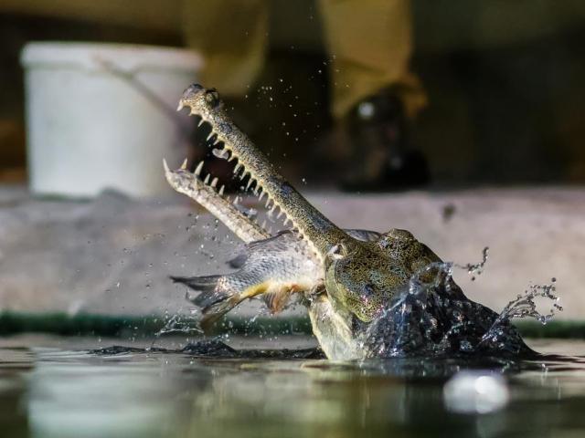 Krmení gaviálů indických je pro návštěvníky velmi zajímavá podívaná. Foto: Petr Hamerník, Zoo Praha