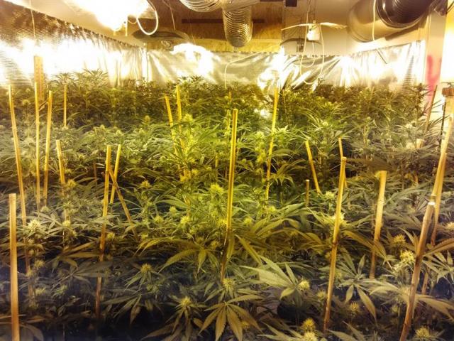 Celní protidrogová jednotka odhalila mezinárodní obchodníky s marihuanou, foto Celní správa ČR