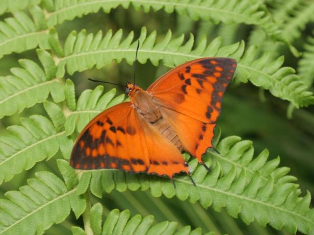 Pestrobarevní tropičtí motýli budou opět poletovat skleníkem Fata Morgana. Foto Botanická zahrada Praha