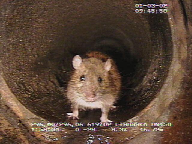 PVK vyrážejí na potkany, v Praze probíhá plošná deratizace. Foto PVK