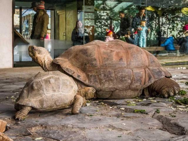 Modrý s nejstarším obyvatelem Zoo Praha - samcem želvy sloní, Eberhardem. Foto: Petr Velenský, Zoo Praha