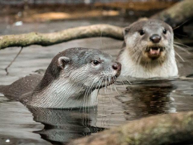Samec Scotty a samice Kiri se od mláďat vzdalují jenom na chvíli. Foto Petr Hamerník