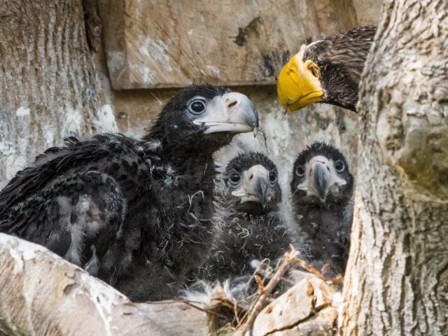 Vzácná trojčata orlů východních mohou návštěvníci vidět ve voliéře ve spodní části zoo. Foto: Petr Hamerník, Zoo Praha