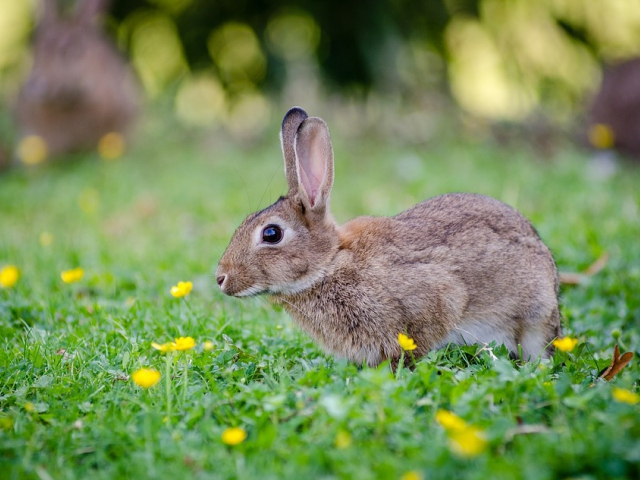 Vědci z Veterinární a farmaceutické univerzity Brno potvrdili výskyt nového viru moru králíků, foto pixabay.com