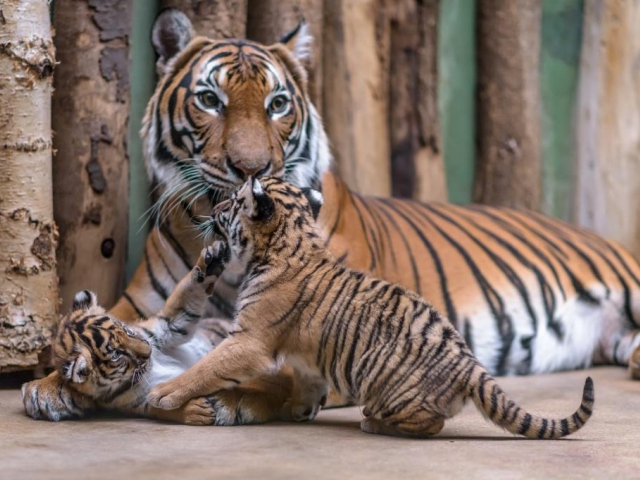 Roztomilá dvojčata tygrů malajských dostala jména, foto: Petr Hamerník, Zoo Praha.