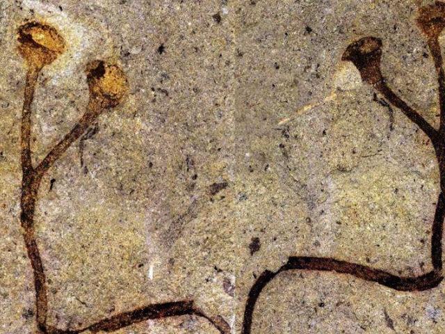 Česko má nejstarší rostlinnou makrofosílii světa, foto: Národní muzeum