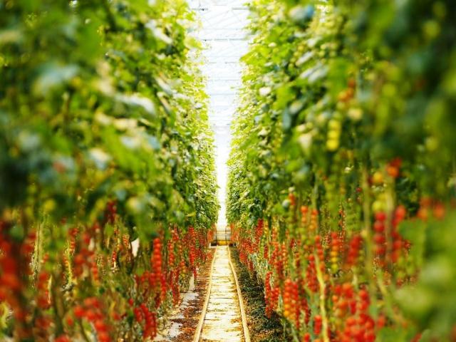 NWT vybuduje v Dolní Lutyni skleníky na pěstování rajčat, teplo z Elektrárny Dětmarovice dodá ČEZ Teplárenská, foto: cez.cz