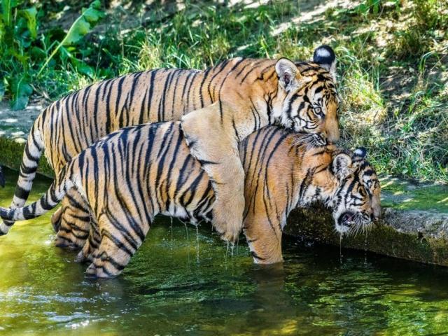 Ani vysoké letní teploty nebrání dvojčatům tygra malajského Bulanovi s Wanitou v jejich venkovních hrátkách. Foto: Petr Hamerník, Zoo Praha