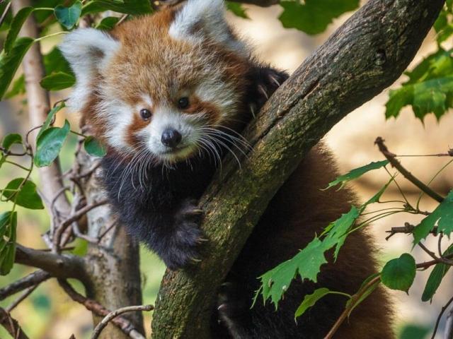 Vzácný přírůstek, mládě pandy červené, foto: Lenka Pastorčáková, Zoo Praha